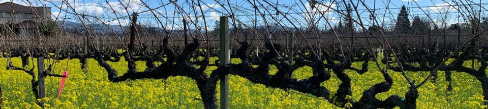 Napa Vineyards with Winter Mustard 2021 02 12